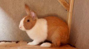 kelinci dutch mini
