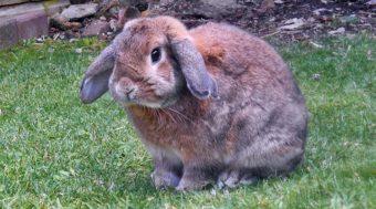 beberapa penyakit kelinci