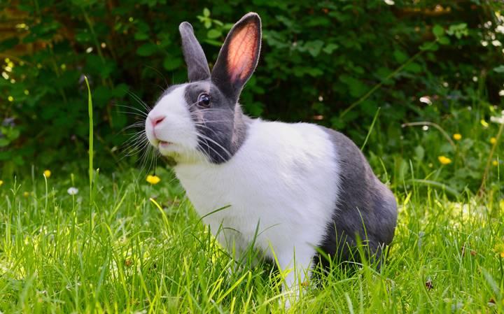 kelinci dutch yang sehat