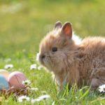 Tips Cara Merawat Anak Kelinci Anggora Bagi Pemula