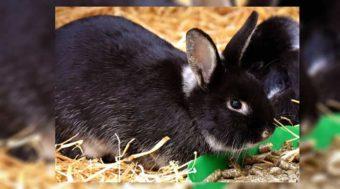 makanan kelinci hias agar cepat besar