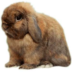 holland lop show quality