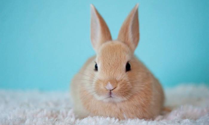 merawat kelinci hias dengan baik