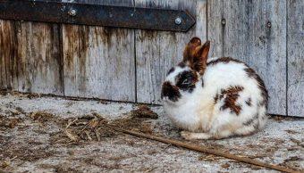 ciri ciri kelinci hamil muda