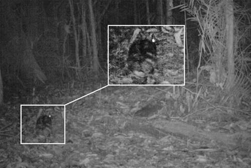kelinci sumatera tertangkap camera