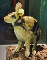 patung kelinci sumatera di museum