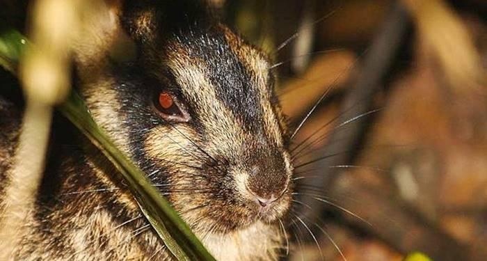 kelinci sumatera yang langka