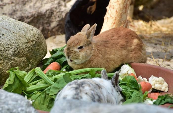 merawat kelinci ND