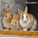 jenis kelinci dan harga