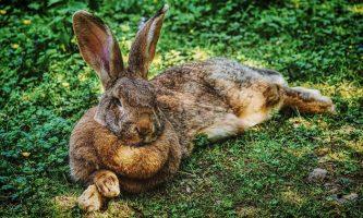 kelinci flemish giant